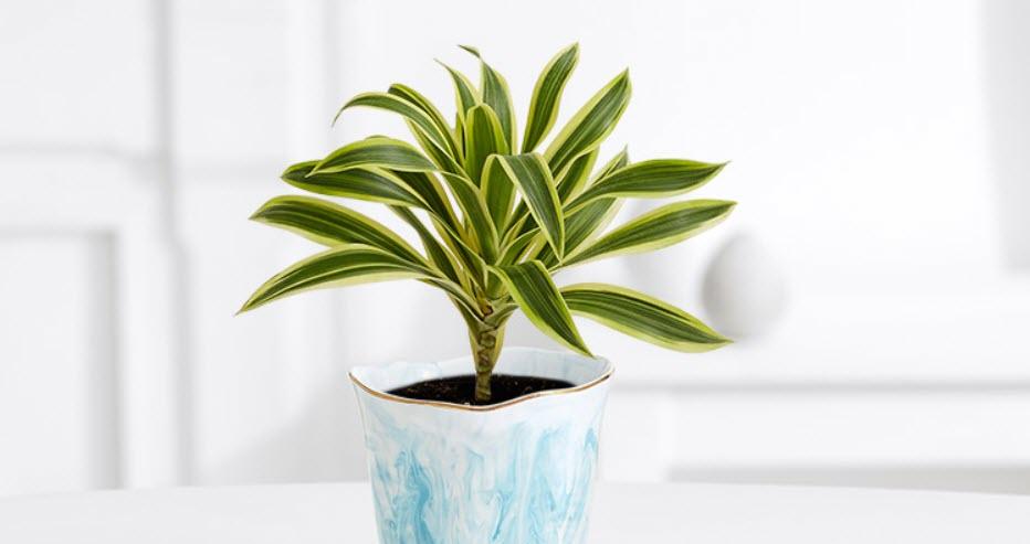 Dracaena plant in pretty white and blue pot