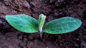 young pumpkin seed sprouted in the garden