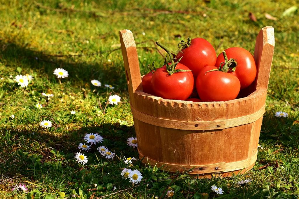 basket of freshly picket tomatoes