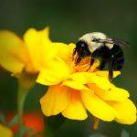 Bumble bee raking pollen from a marigold