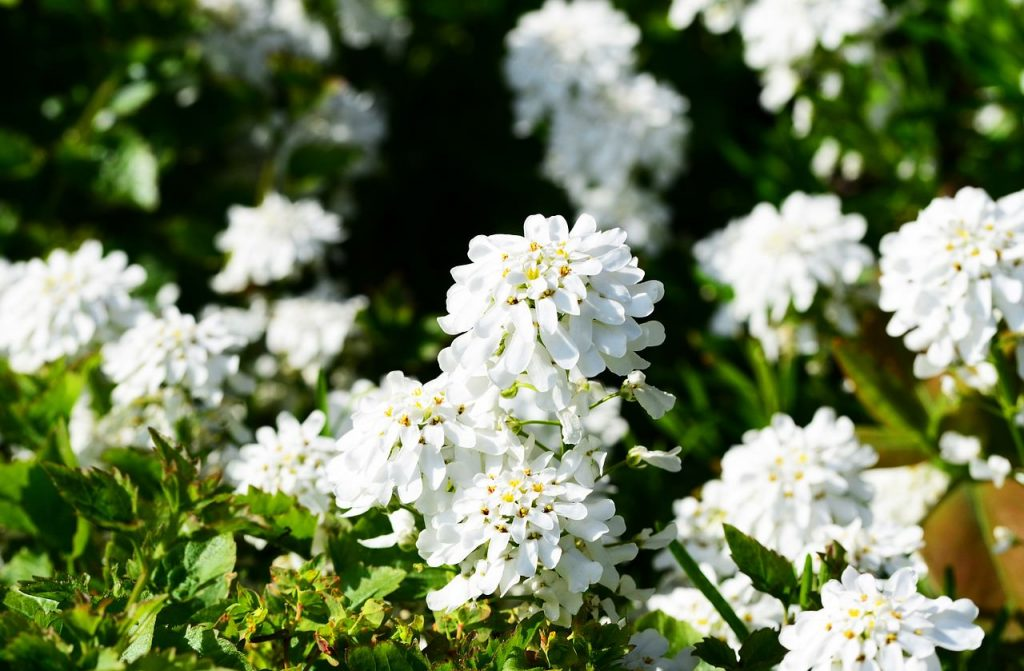 white candytuft blooms