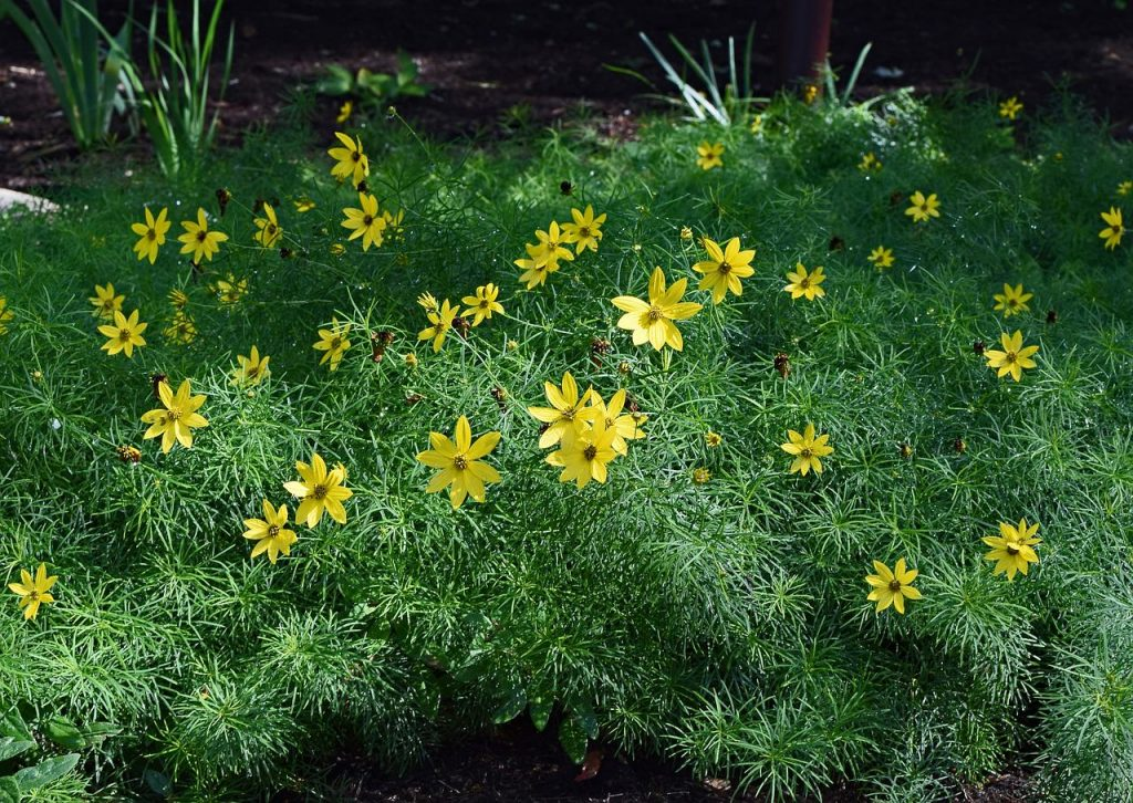 group of blooming yellow coreopsis