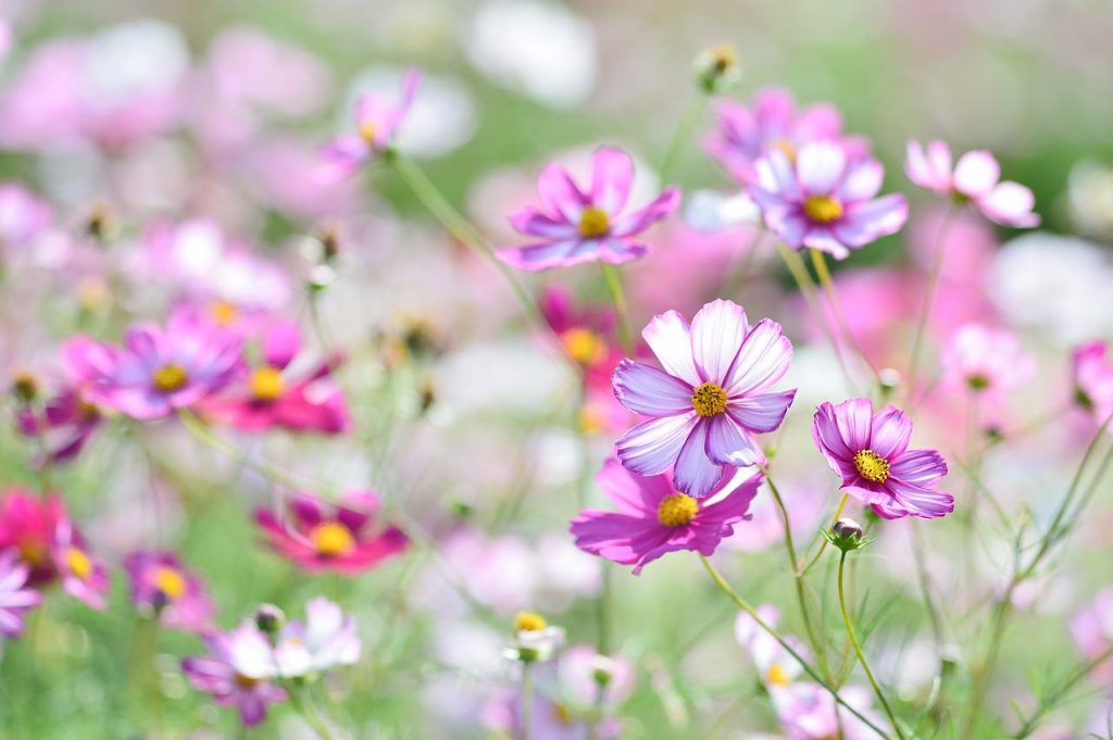 field of light pink cosmos blooms
