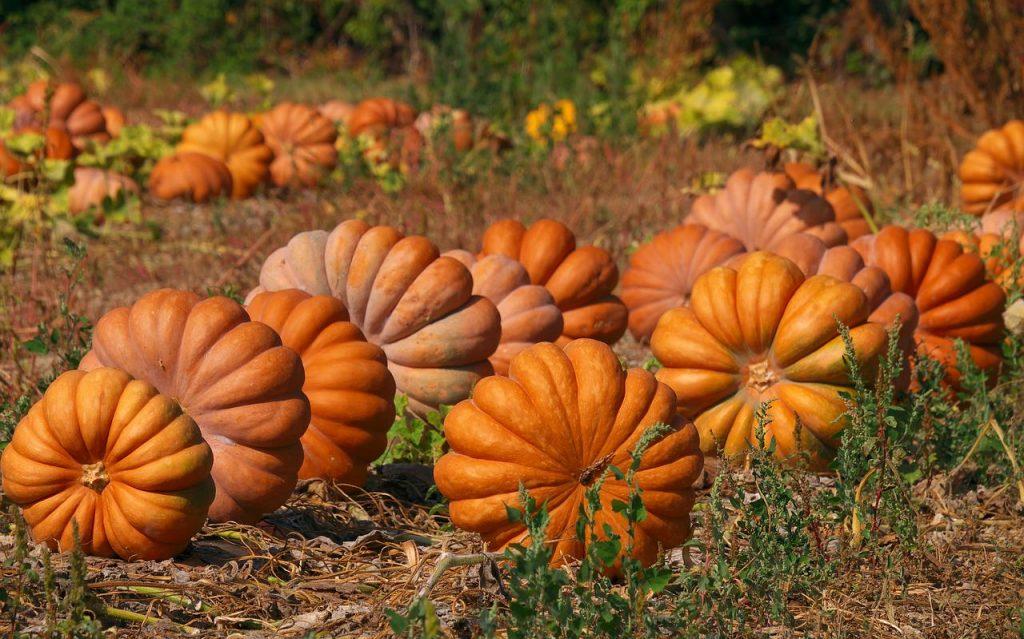 pumpkins growing in the field