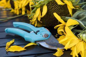 pair of light blue garden clippers next to a sunflower