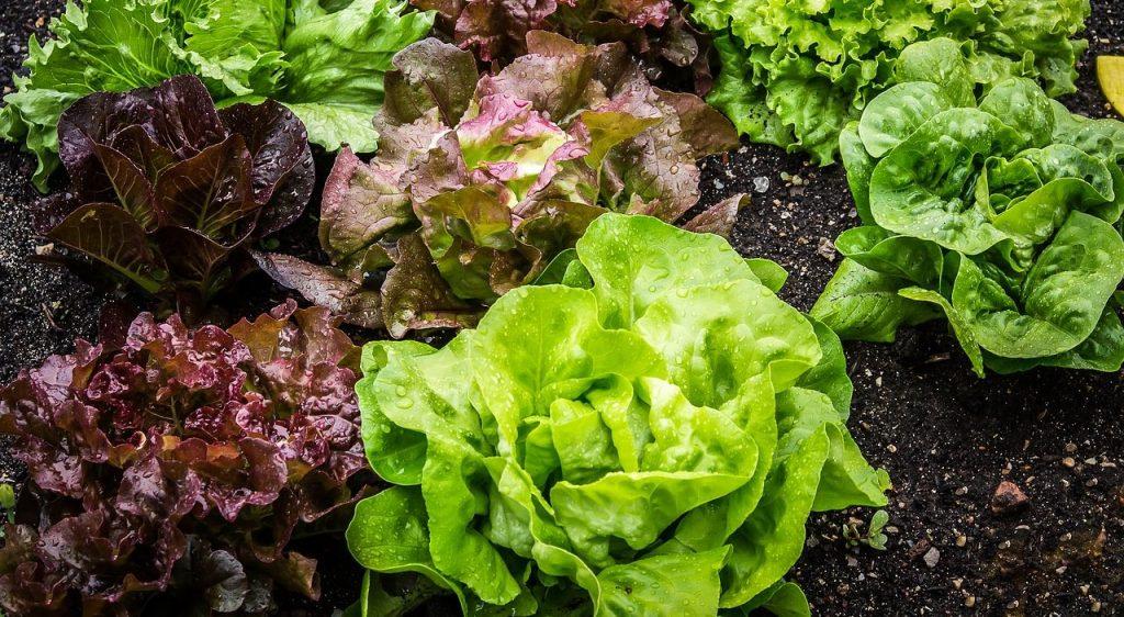colorful lettuce growing in soil
