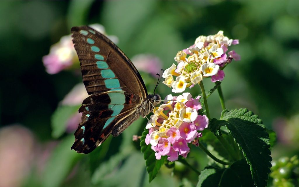 pink and yellow lantana flowers are visited by a black and green butterfly
