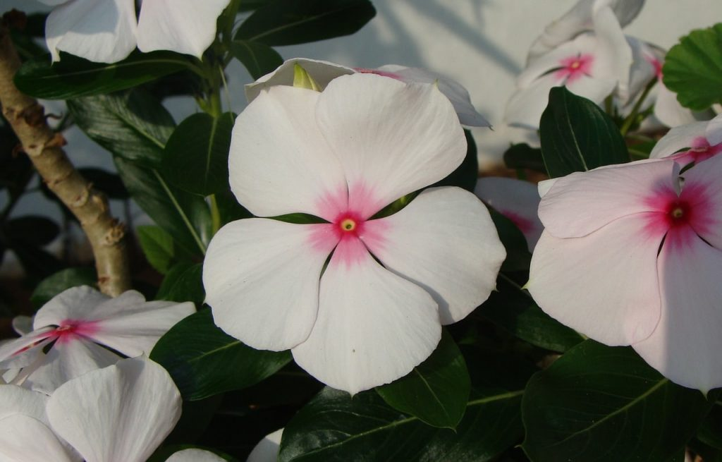 matagascar periwinkle flower- white with pink centers