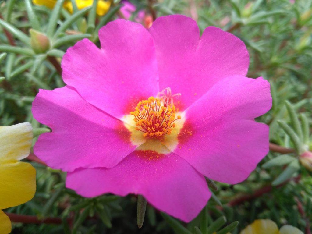 bright pink portulaca flower