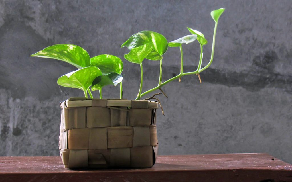 Pothos office plant
