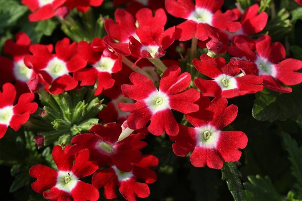 bright red verbena flowers