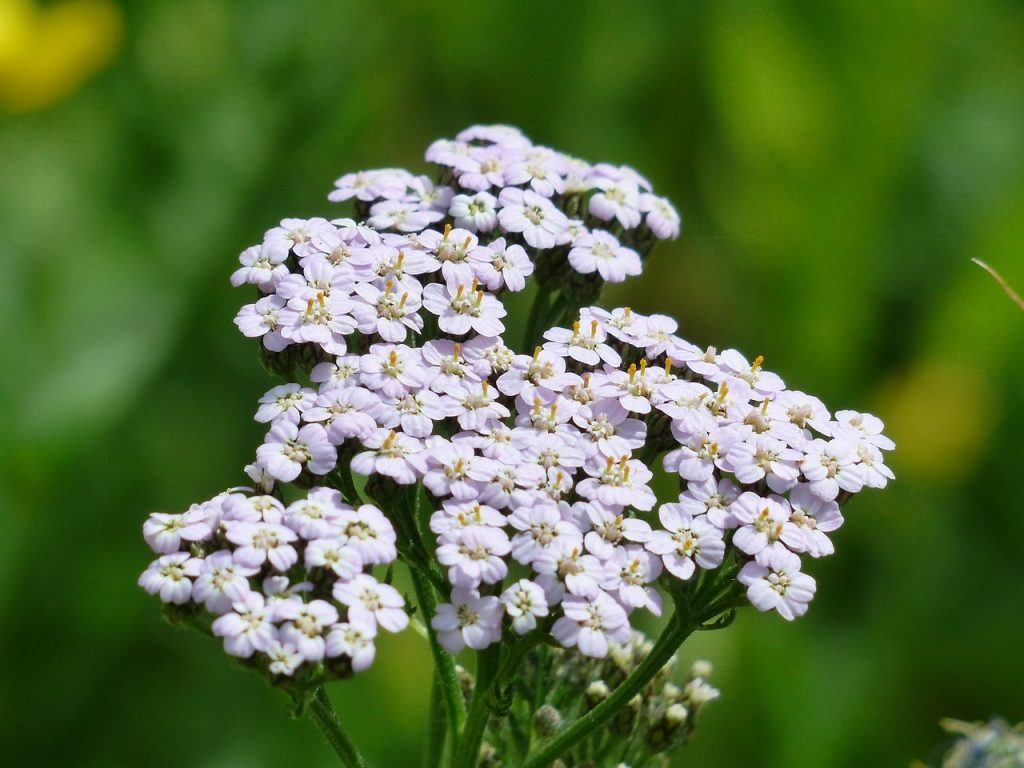 white yarrow flower with gold center