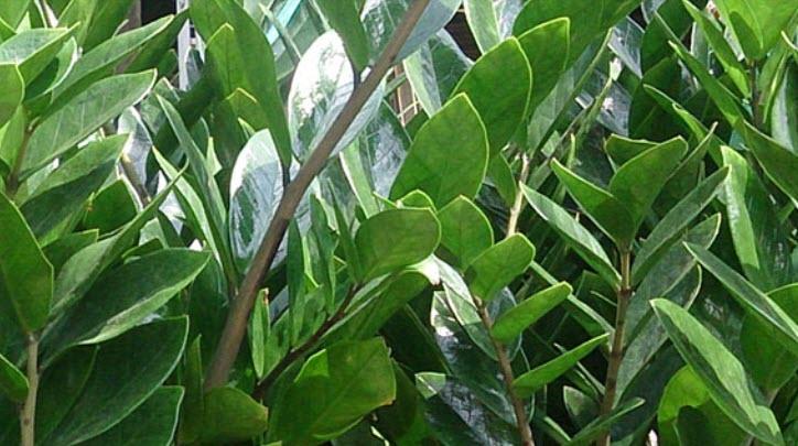 the Zamioculcas zamiifolia plant