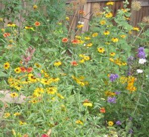 colorado native annuals