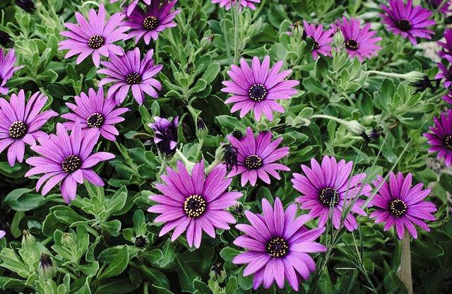 purple african daisies