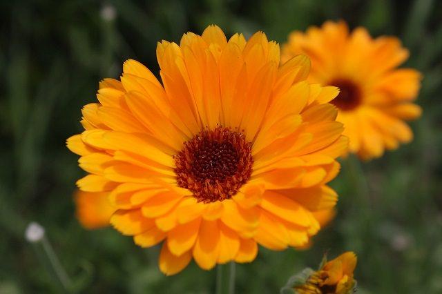 bright organge calendula