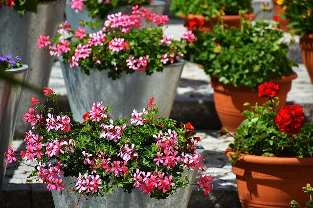 pink and white potted geraniums
