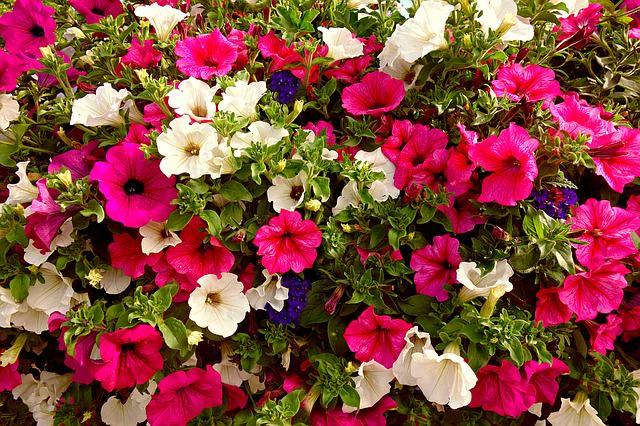 red white pink and blue petunias