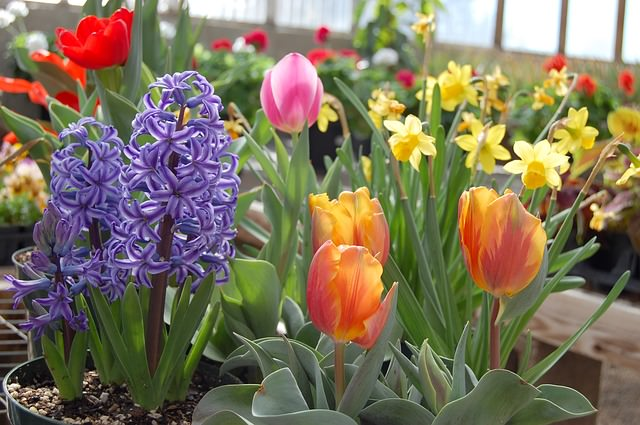 early spring flowering potted bulbs in garden center