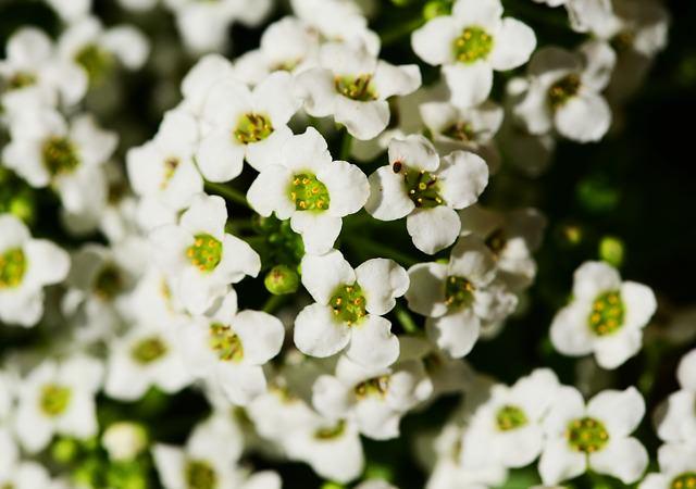 tiny white flowers of sweet alyssum