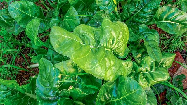 bright green spinach leaves