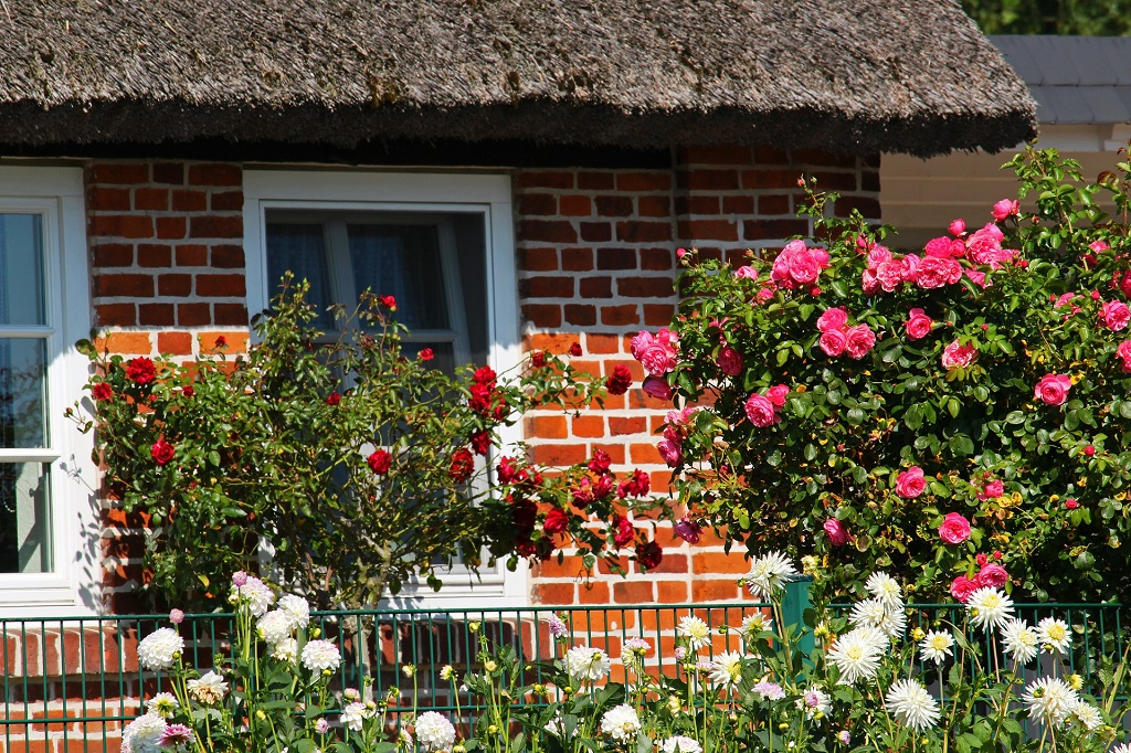 roses and daisies blooming in the front garden