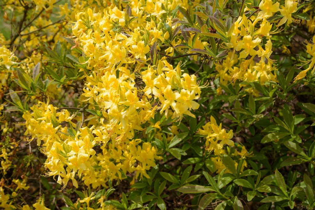 Yellow rhododendron in bloom