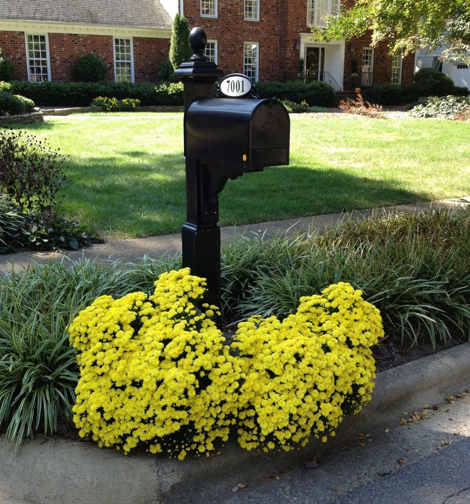 bright yellow mums planted around the mail box in the front yard